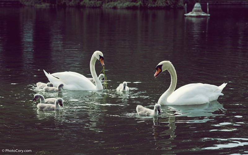 Swans with seven babies in Brussels, Belgium, on Ponds d'Ixelles