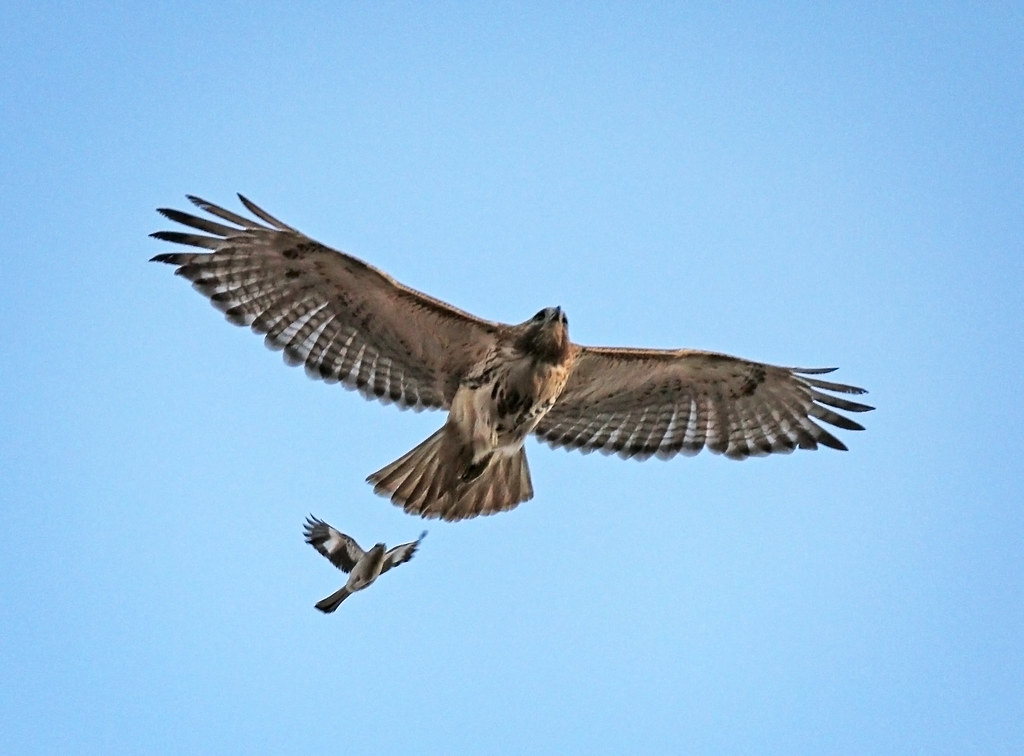 Dora the hawk under attack by a blue jay