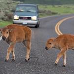 Calf crossing