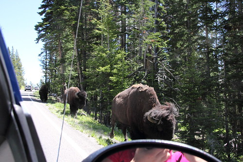 Bisons passing a car in Yellowstone