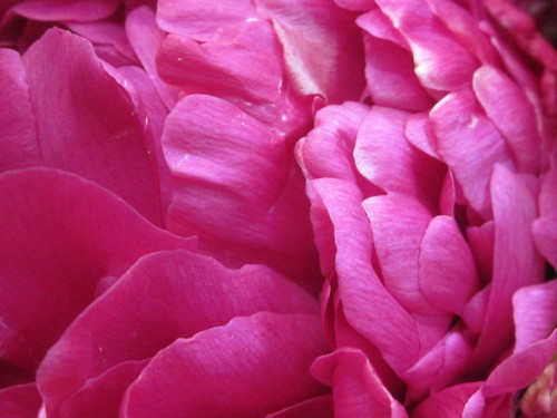 Pink Flower Petals, Photos by Sherrie Thai of ShaireProductions.com
