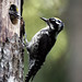Three-toed Woodpecker (Mati Kose)