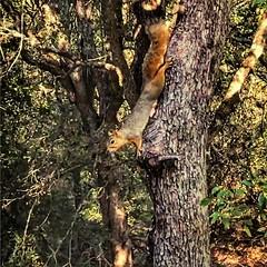 Goes down head first #igsanantoniotexas #igsanantonio #citywildlife #squirrelsofinstagram #alert #eyetoeye #treelife