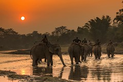 Elephant polo team heading home after practice near Chitwan National Park in Nepal. #travel #nepal #elephant