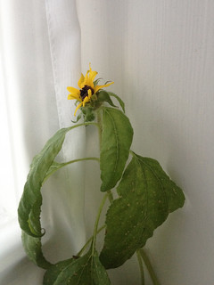 IMG_0738b_sunflower