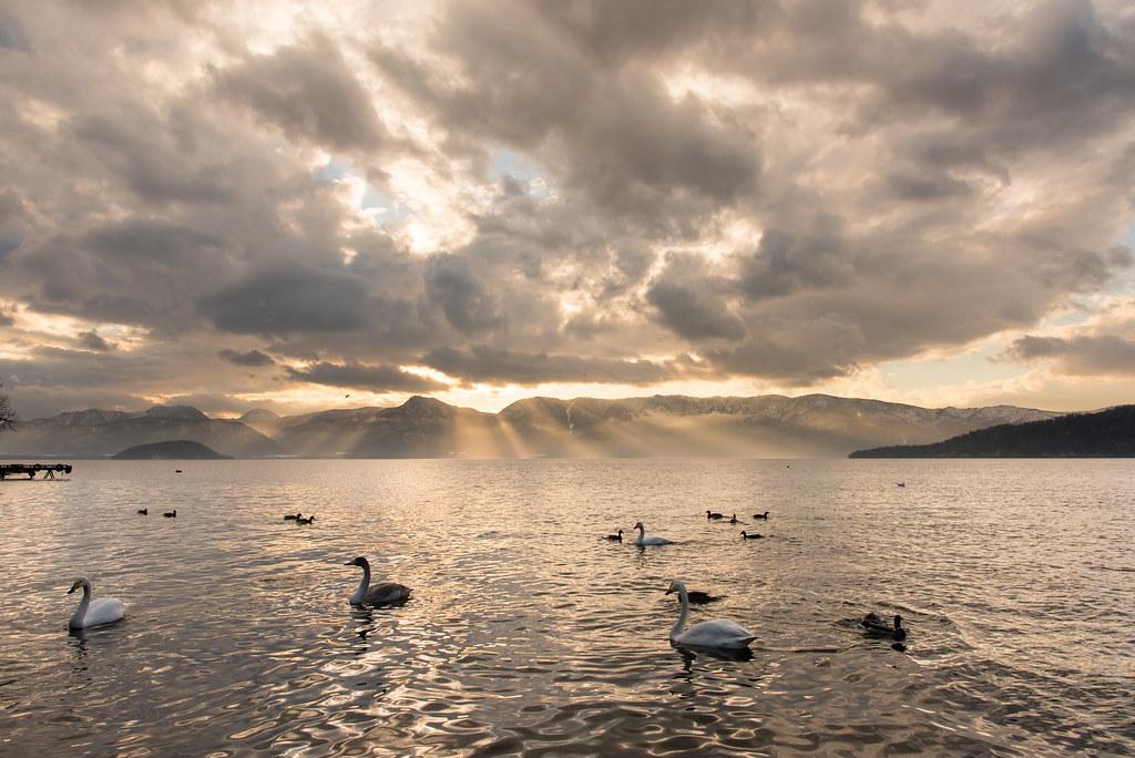 屈斜路湖の白鳥。