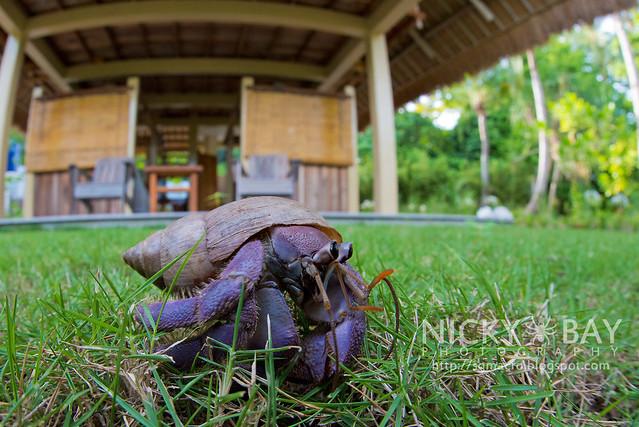 Land Hermit Crab (Coenobita sp.) - DSC_6912
