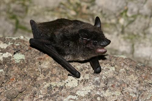 特生中心在馬祖發現灰伏翼。(圖片來源:特生中心)