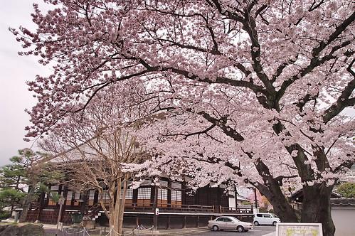 【写真】2013 桜 : 本隆寺/2020-05-19/IMGP9109