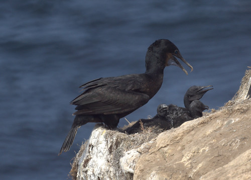 Mother and Baby Cormorants by Mike's Birds