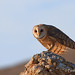 Barn Owl Surprise by Beth Sargent