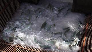 fish trap1-1