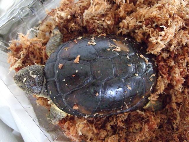 2013/8/31 ヒメハコヨコクビガメが我が家にやってきた4(オス)