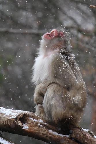 Snow Monkey in Snow 10