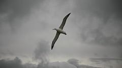 Southern Royal Albatross, Harington Point