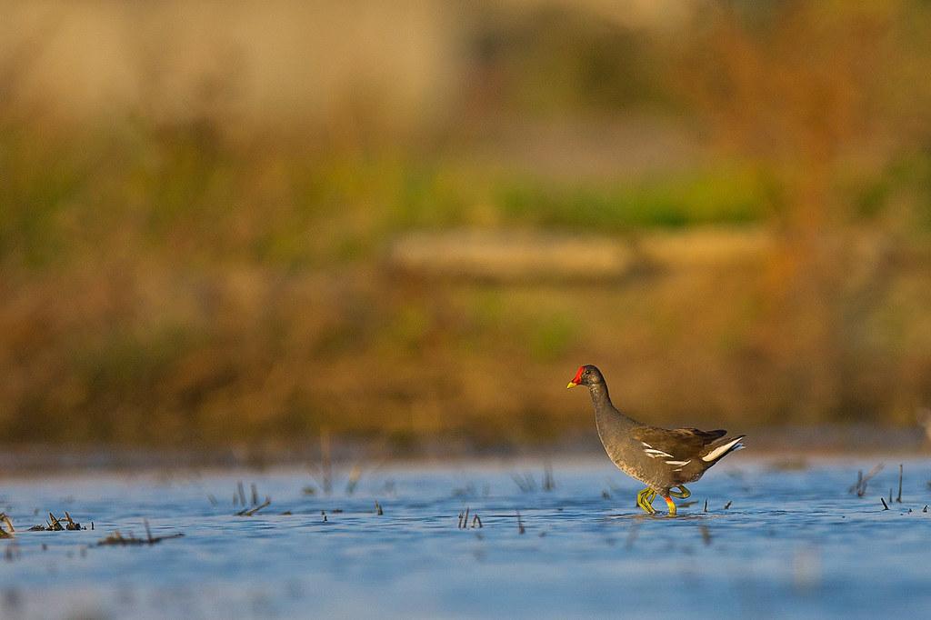 竹南水鳥-0145