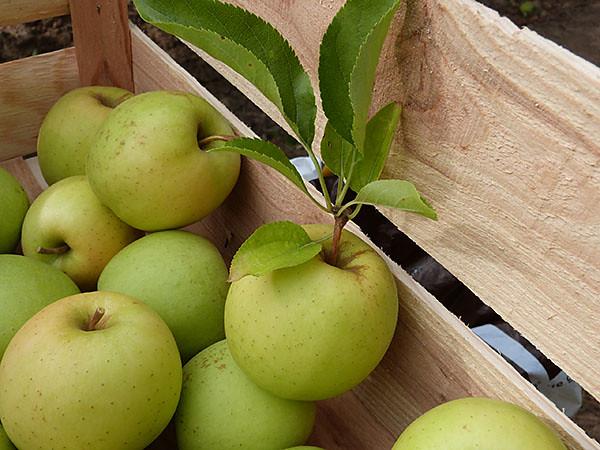 pommes dans la cagette