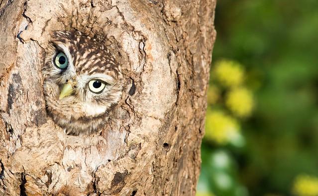 Mike Blythe - Little Owl