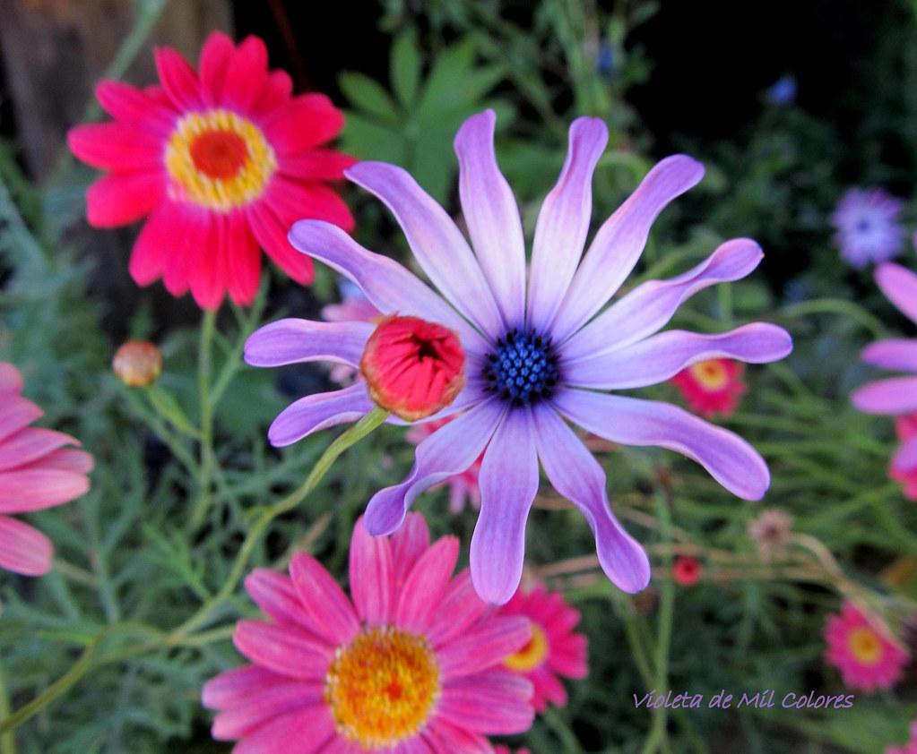 Violeta de mil colores 39 s most interesting flickr photos for De mil colores