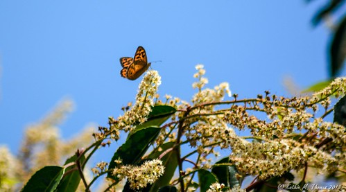 Butterfly on top of Cherry Laurel