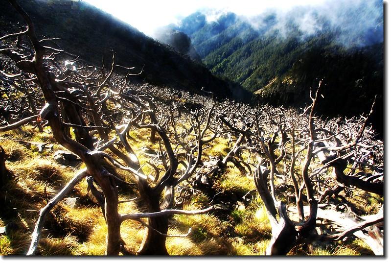 雪山南面坡白木林 3