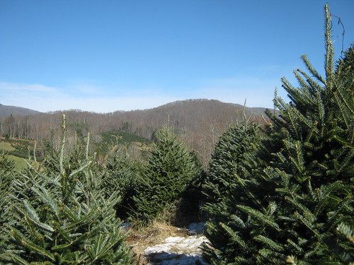 northcarolina christmastree fraserfir frostymountaintreefarm frostymountainchristmastreefarm