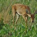 Steenbok Feeding by masaiwarrior