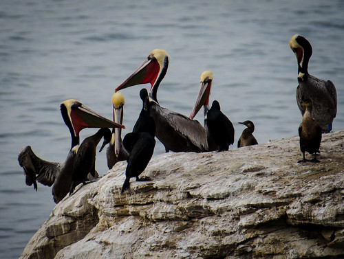 Brown Pelicans by KaroliK