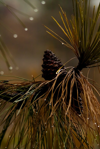 trees brown white canada green nature water leaves weather pine leaf drops bc okanagan seeds kelowna needles raining cones