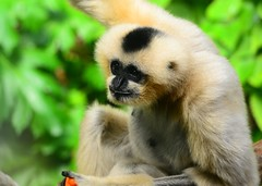 gibbon, animal, primate, fauna, new world monkey, wildlife,