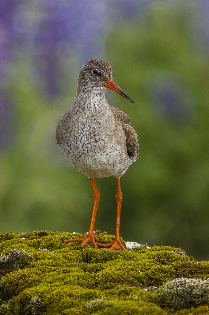 Stelkur / Commom Redshank