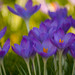 Early Spring Flowers [EXPLORED 02.03.2014 Highest position: 200] by JohKl