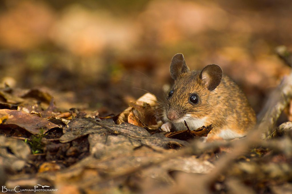 wood mouse billy clapham