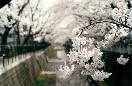 桜(後ボケ)