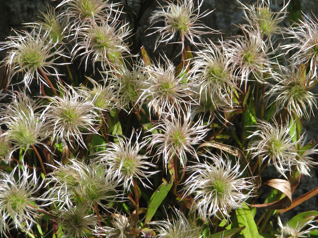 Clematis gentianoides seed heads