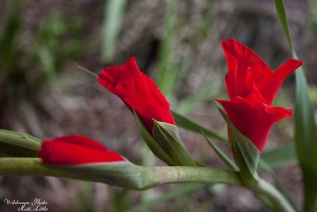 redglad2