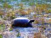 Tartaruga Anastasia State Park St.Augustine