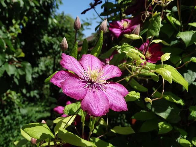 Lila virág 1