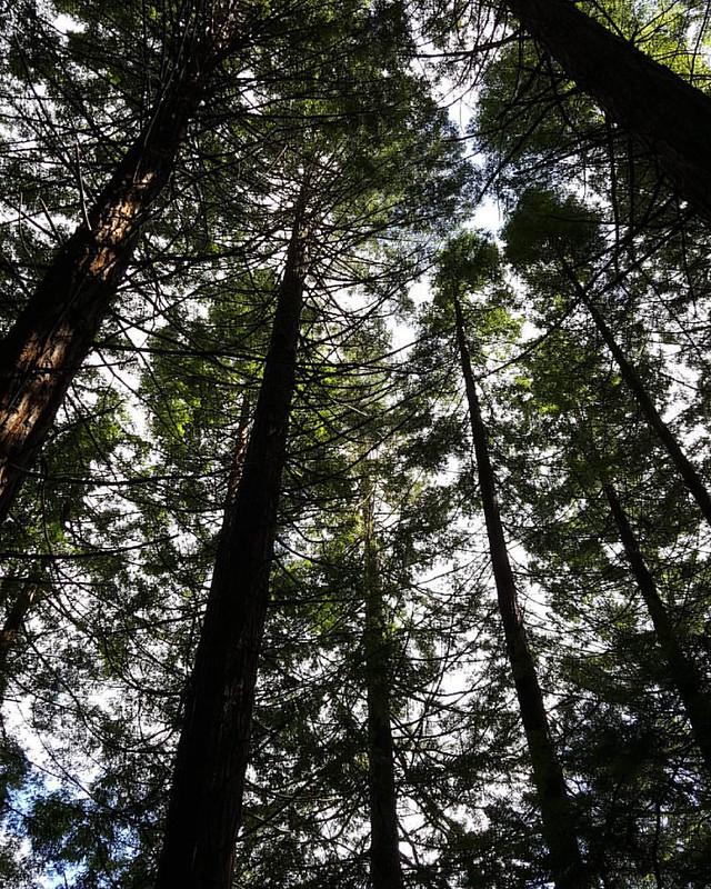 Redwoods in the Redwoods #whakarewarewa #running #trees