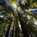 Redwoods by Mista Sparkle