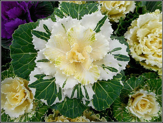 Ornamental Cabbage ..