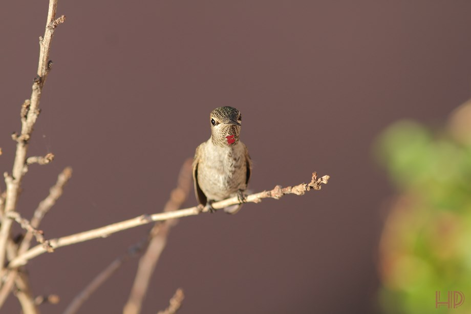 immature Anna's Hummingbird 072313-3
