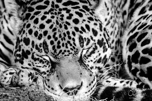 Jaguar Napping