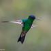 Amazilia Frentiazul / Indigo-Capped Hummingbird by Andrés Ceballos V.
