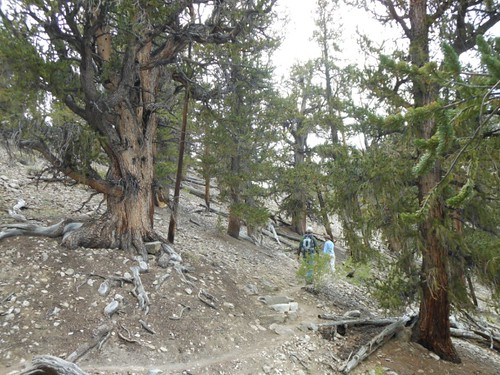 Walking through the Methuselah Forest.