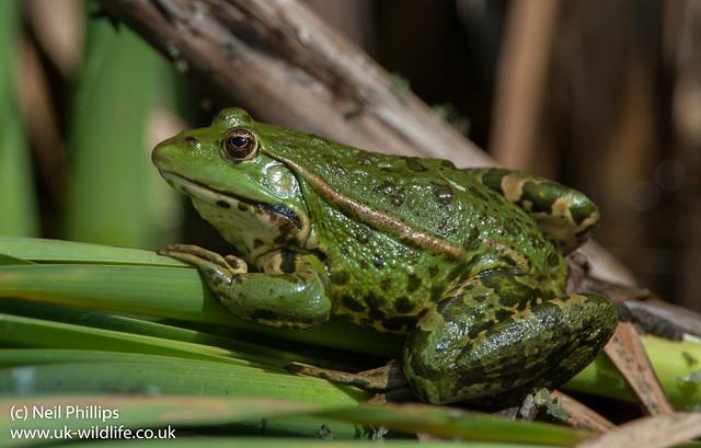 marsh frog-9