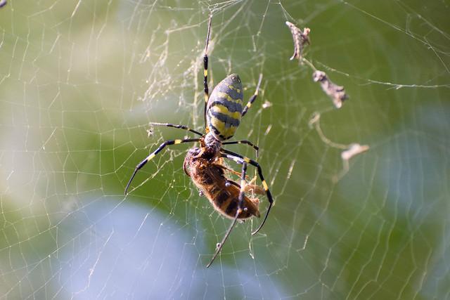 Jufukuji - spider eats hornet