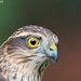 Sparrowhawk - Recovered from the light! by Ashley Cohen Photography