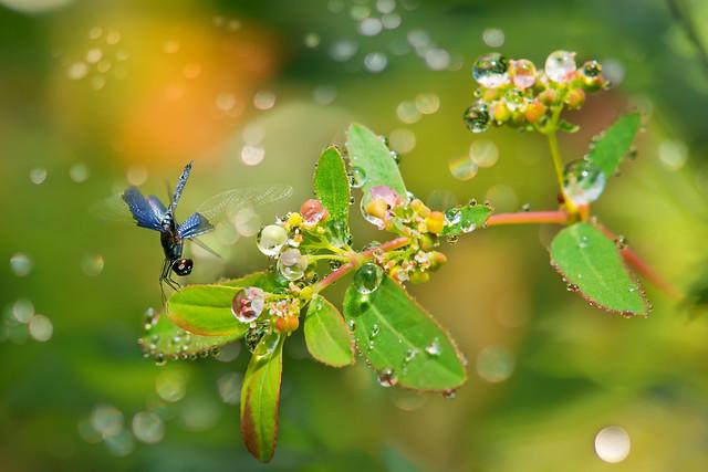Lesser Sapphire Flutterer  * 三角蜻蜓 *