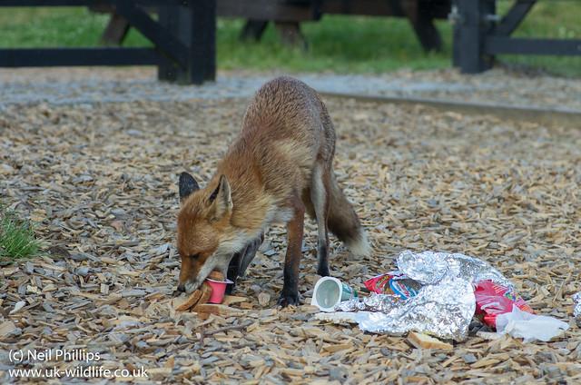 red fox_-3